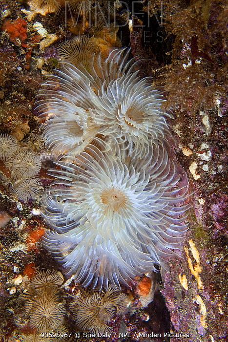 Spiral Fan Worm (Bispira volutacornis) Maseline Harbour, Sark, British Channel Islands, July  -  Sue Daly/ npl