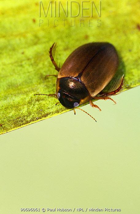 Great diving beetle (Dytiscus marginalis) Sheffield, UK  -  Paul Hobson/ npl