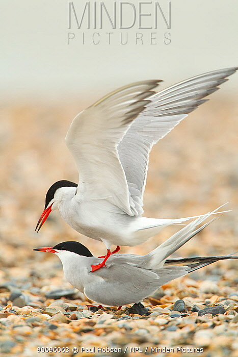 Common Terns (Sterna hirundo) pair mating on beach, Texel, Holland, January  -  Paul Hobson/ npl