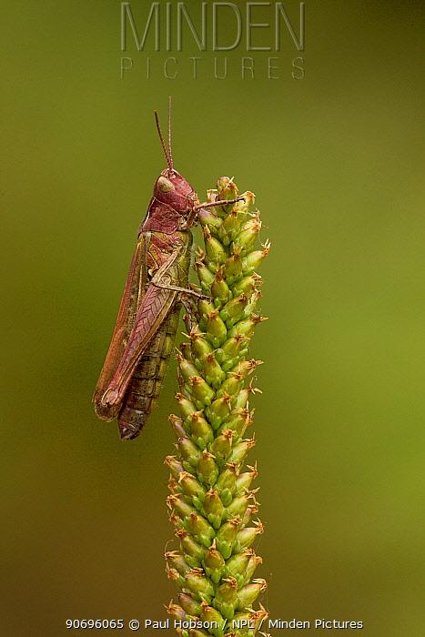 Meadow grasshopper (Chorthippus parallelus), Coombes Dale, Derbyshire UK  -  Paul Hobson/ npl