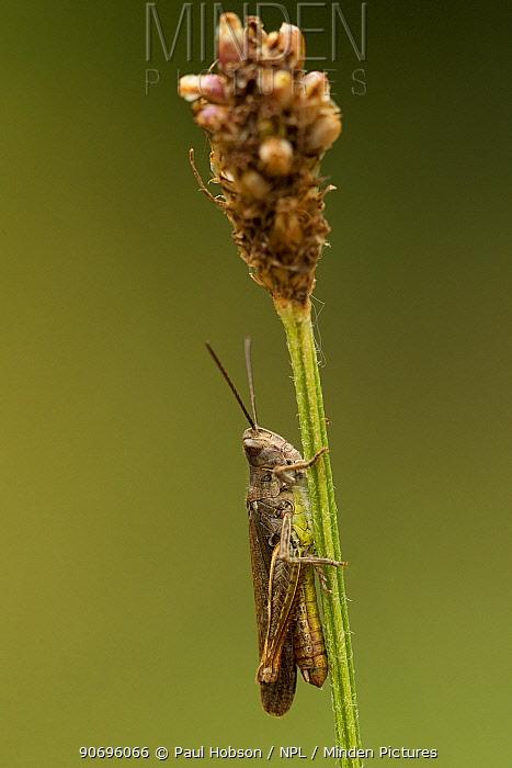 Meadow grasshopper (Chorthippus parallelus), Coombes Dale, Derbyshire, UK  -  Paul Hobson/ npl