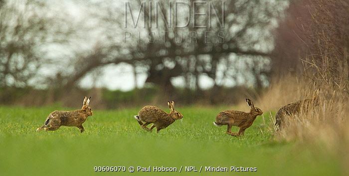 European hares (Lepus europeas) four running out of field, Peak District, UK June  -  Paul Hobson/ npl