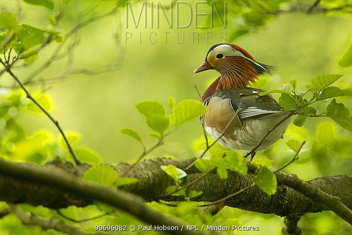 Mandarin duck (Aix galericulate) male resting in tree, Sheffield, UK May  -  Paul Hobson/ npl