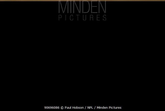 Mountain hare (Lepus timidus) running in half summer coat, Peak District, UK April  -  Paul Hobson/ npl