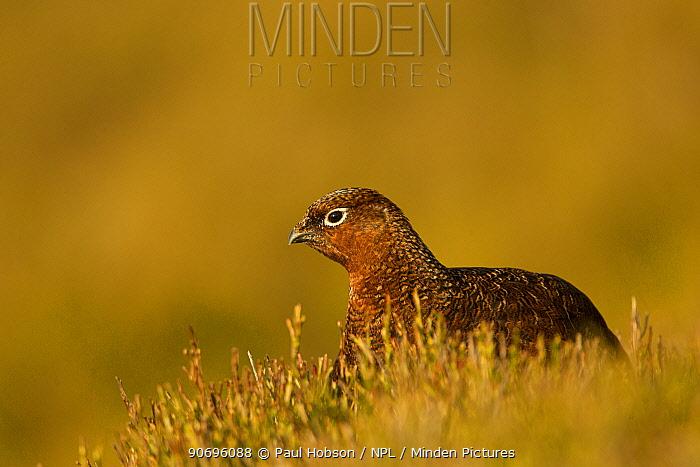 Red grouse (Lagopus lagopus scoticus) sat in bilberry, Peak District, UK February  -  Paul Hobson/ npl