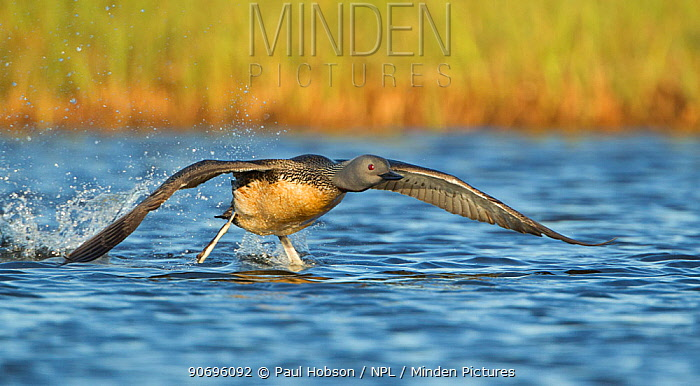 Red throated diver (Gavia stellata) taking off from water, Iceland June  -  Paul Hobson/ npl
