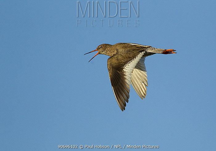 Redshank (Tringa totanus) calling in flight, Iceland June  -  Paul Hobson/ npl