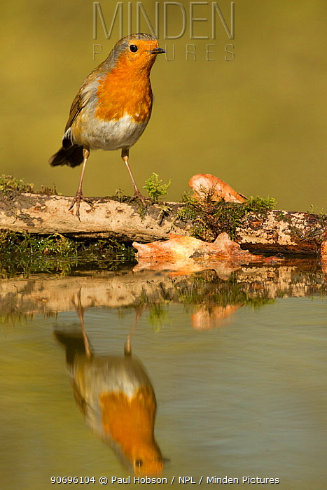 Robin (Erithacus rubecula) reflected portrait in pond, Yorkshire, UK July  -  Paul Hobson/ npl