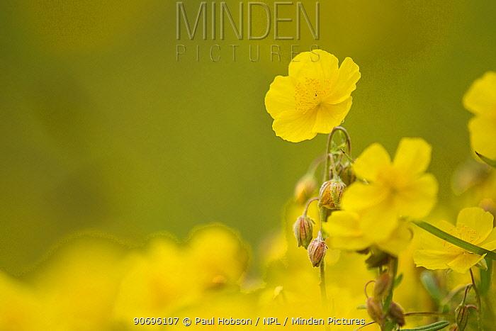 Common rockrose (Helianthemum nummularium) in flower, Chee Dale, Derbyshire UK June  -  Paul Hobson/ npl