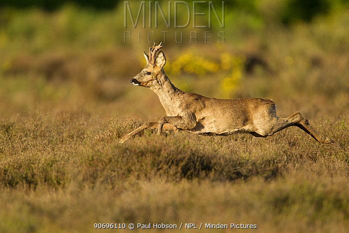 Roe deer (Capreolus capreolus) adult stag running across heathland, The Netherlands  -  Paul Hobson/ npl