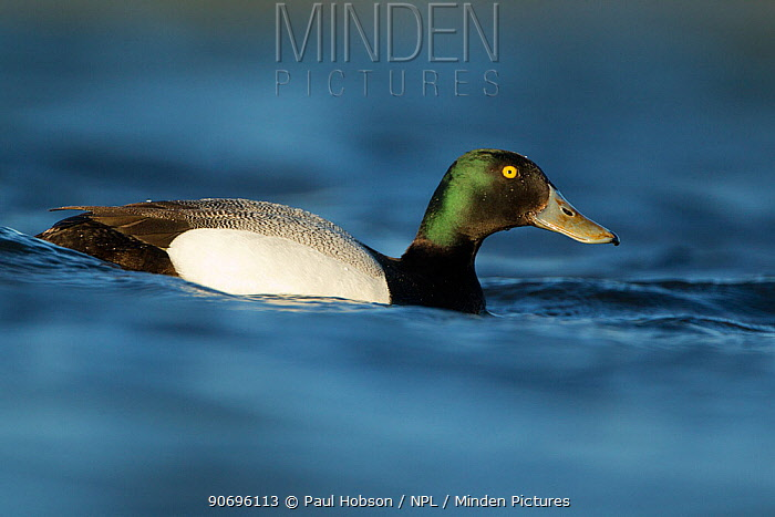 Greater scaup duck (Aythra marila) male on water, Iceland June  -  Paul Hobson/ npl