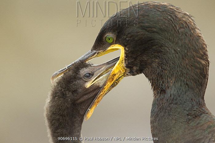 Shag (Phalacrocorax aristotelis) feeding chick through regurgitation, Scotland, UK July  -  Paul Hobson/ npl
