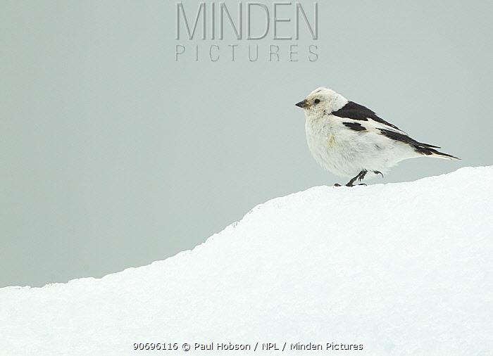 Snow Bunting (Plectrophenax nivalis), male portrait standing on ice-snow, summer plumage, Iceland June  -  Paul Hobson/ npl