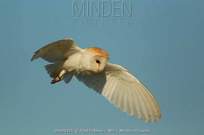 Barn owl (Tyto alba) in flight, Lincolnshire, UK May  -  Paul Hobson/ npl