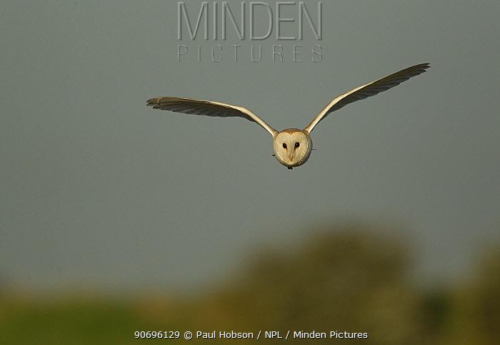 Barn owl (Tyto alba) in flight, hunting behaviour, Lincolnshire, UK May  -  Paul Hobson/ npl