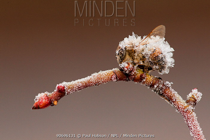 Small garden bumble bee (Bombus hortorum) frozen on small twig, covered in ice crystals, Sheffield, UK February 2011  -  Paul Hobson/ npl