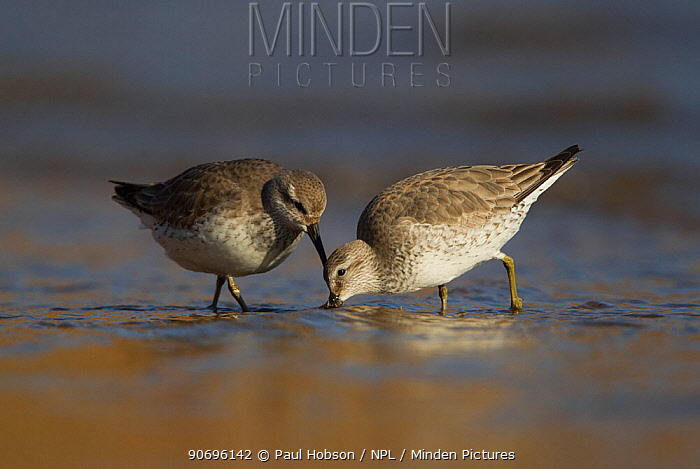 Knot (Calidris canutus) foraging in shallow water in winter plumage, Yorkshire, UK February  -  Paul Hobson/ npl