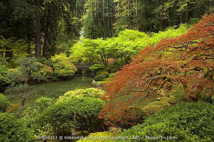 The Strolling Pond with a Moon Bridge, Japanese Garden in Portland's Washington Park, Oregon, USA, June  -  Kirkendall-spring/ npl