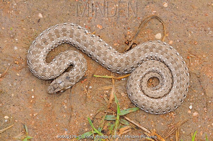 Mole Snake (Pseudaspis cana) juvenile, dorsal view dehoop Nature Reserve, Western Cape, South Africa, October  -  Tony Phelps/ npl