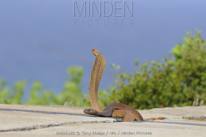 Cape Cobra (Naja nivea) two males on concrete DeHoop Nature reserve Western Cape, South Africa, October  -  Tony Phelps/ npl