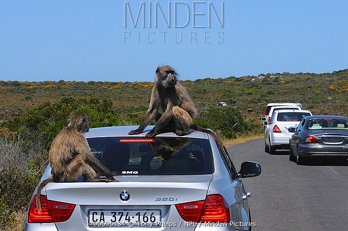 Chacma Baboon (Papio hamadryas ursinus) Sitting on tourist vehicle Cape Point, Table Mountain National Park, Cape Town, South Africa, October  -  Tony Phelps/ npl