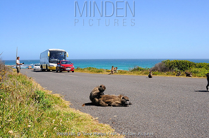 Chacma baboon (Papio hamadryas ursinus) troop on road with tourist traffic, Cape Point, Table Mountain National Park, Cape Town, South Africa  -  Tony Phelps/ npl