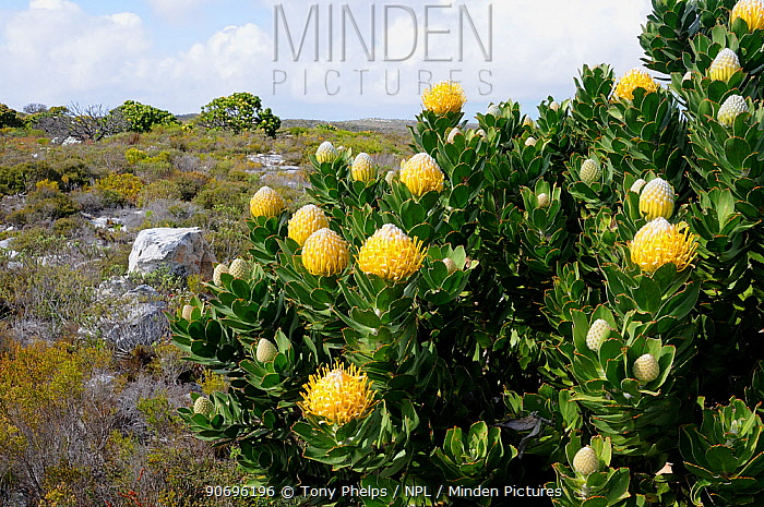 Pincushion (Leucospermum cococarpodendron) in fynbos mosaic shrubland Cape Point, Table Mountain National Park, Cape, Town, South Africa, October  -  Tony Phelps/ npl