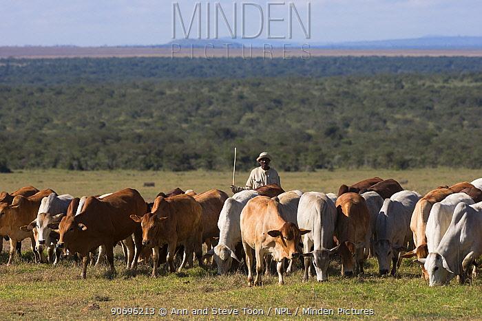 Boran cattle herd used in wildlife conservation management, Ol Pejeta Conservancy, Laikipia, Kenya, Africa, September 2012  -  Ann & Steve Toon/ npl