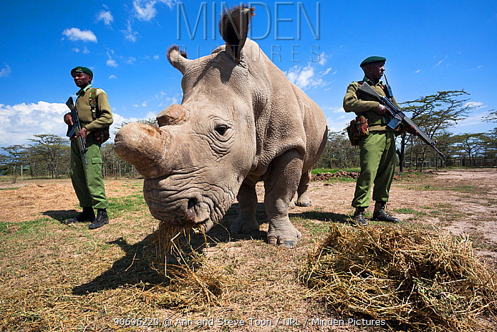 Northern white rhino (Ceratotherium simum cottoni) female called Najin, watched over by armed guard, Ol Pejeta Conservancy, Laikipia, Kenya, Africa, September 2012  -  Ann & Steve Toon/ npl