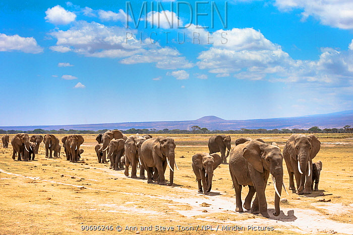 African elephants (Loxodonta africana) large family group on migration, Amboseli National Park, Kenya  -  Ann & Steve Toon/ npl