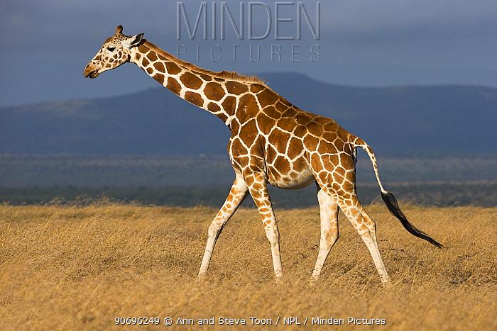 Reticulated giraffe (Giraffa camelopardalis reticulata) walking profile, Ol Pejeta conservancy, Laikipia, Kenya  -  Ann & Steve Toon/ npl