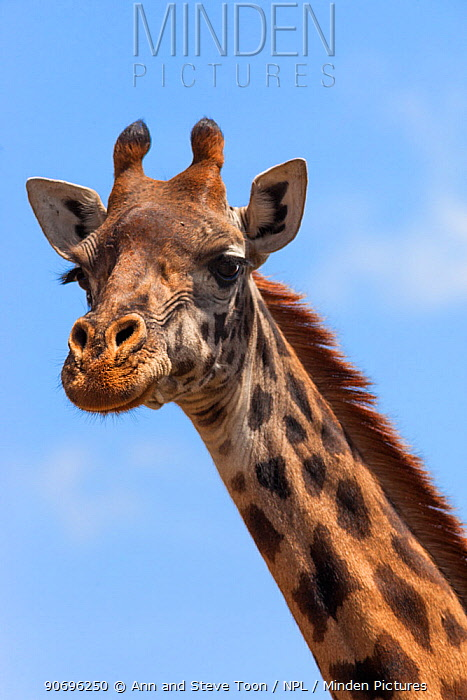 Masai giraffe (Giraffa camelopardalis tippelskirchi) head portrait, Nairobi National Park, Kenya  -  Ann & Steve Toon/ npl