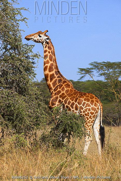 Rothschild's giraffe (Giraffa camelopardalis rothschild) feeding on vegetation, Lake Nakuru National Park, Kenya  -  Ann & Steve Toon/ npl