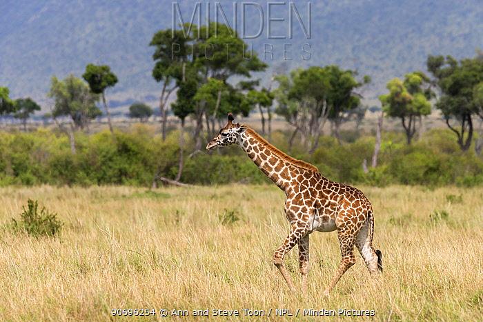 Masai giraffe (Giraffa camelopardalis tippelskirchi) walking across savanna, Masai Mara game reserve, Kenya  -  Ann & Steve Toon/ npl