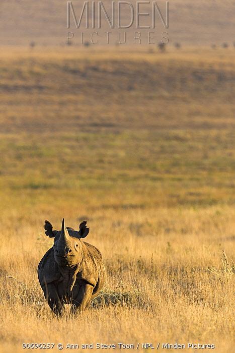 Black rhinoceros (Diceros bicornis) on savanna, Lewa Wildlife Conservancy, Laikipia, Kenya  -  Ann & Steve Toon/ npl