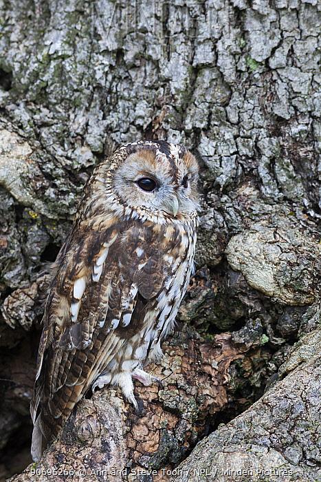 Tawny owl (Strix aluco) camouflaged on tree, UK captive  -  Ann & Steve Toon/ npl