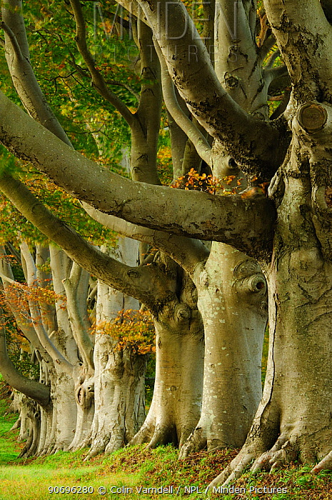 European beech tree (Fagus sylvatica) avenue in autumn, Dorset, UK October  -  Colin Varndell/ npl
