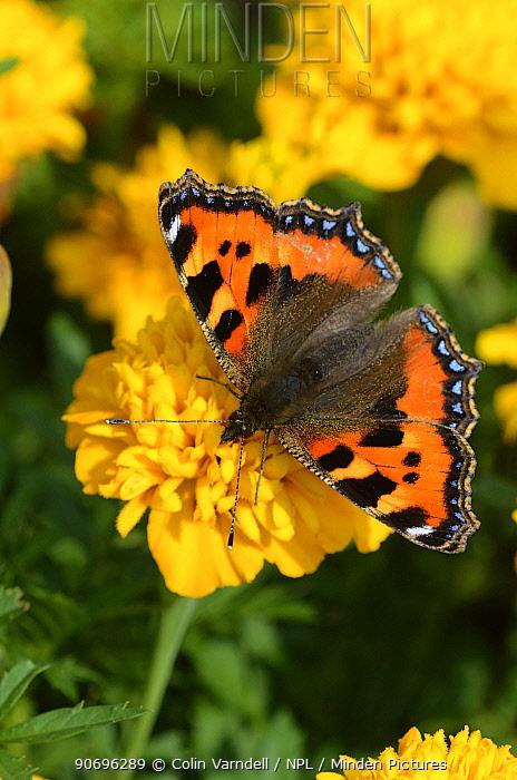 Small tortoiseshell butterfly (Aglais urticae) on French marigold flowers, Dorset, UK  -  Colin Varndell/ npl