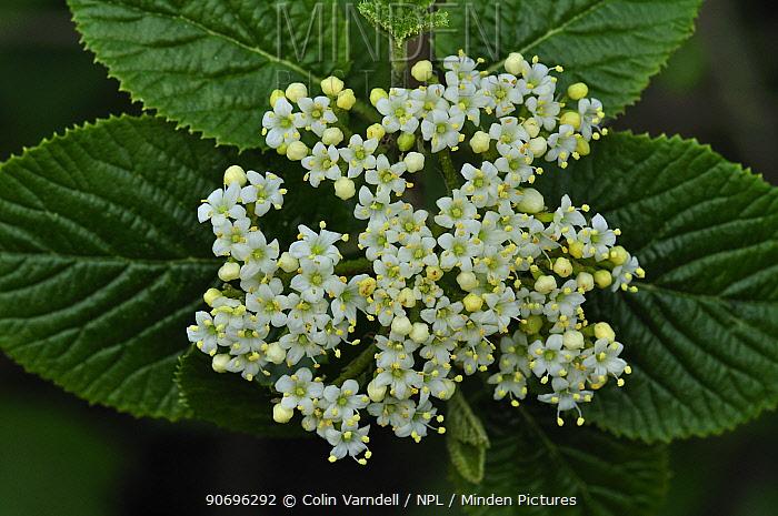 (Viburnum sp) tree blossom in flower, Somerset, UK April  -  Colin Varndell/ npl