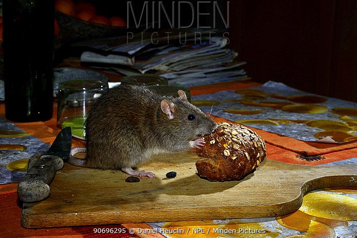 Brown rat (Rattus norvegicus) eating bread on table, France, March  -  Daniel Heuclin/ npl