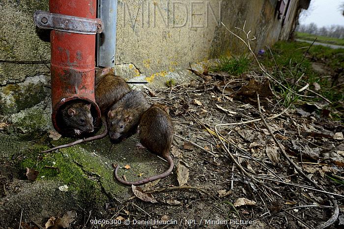 Brown rats (Rattus norvegicus) by drainpipe, France, March Captive  -  Daniel Heuclin/ npl