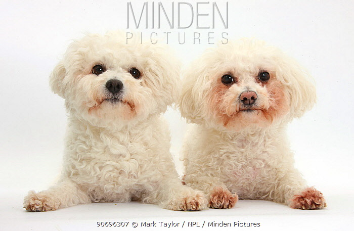 Two Bichon Fris? bitches, Poppy and Pipa  -  Mark Taylor/ npl