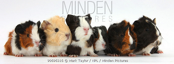 Six young Guinea pigs in a row  -  Mark Taylor/ npl