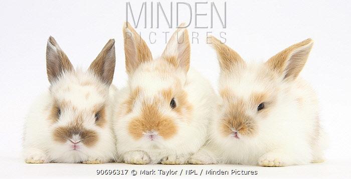 Three cute baby rabbits in a row  -  Mark Taylor/ npl