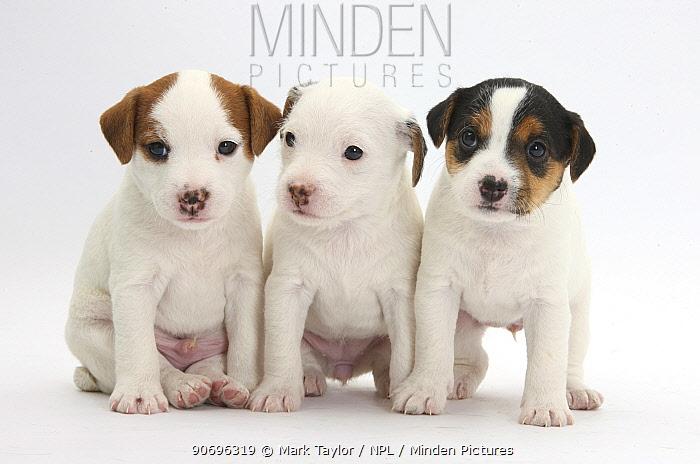 Three Jack Russell Terrier puppies, 4 weeks old  -  Mark Taylor/ npl