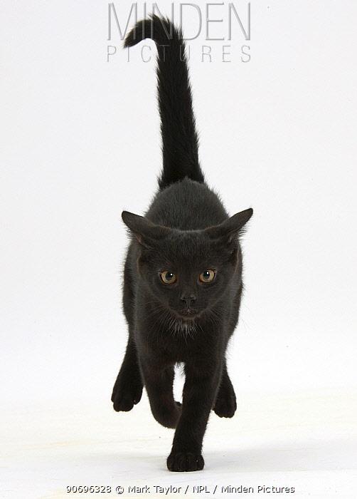 Black male kitten, Buxie, 12 weeks old, running forward  -  Mark Taylor/ npl