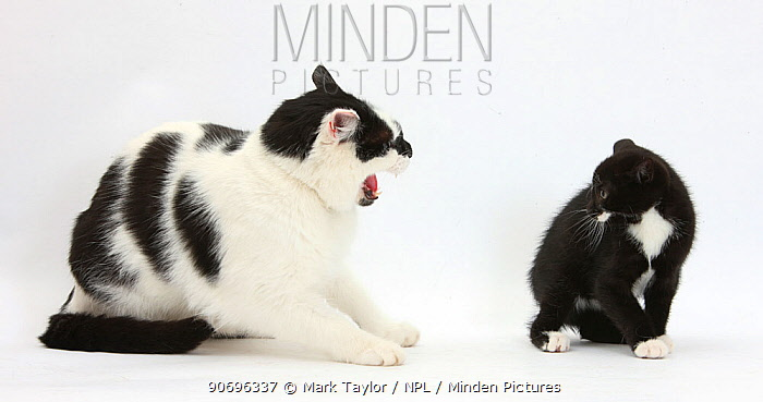 Black-and-white male cat, Pablo, hissing at black-and-white tuxedo kitten, Tuxie, 8 weeks old  -  Mark Taylor/ npl