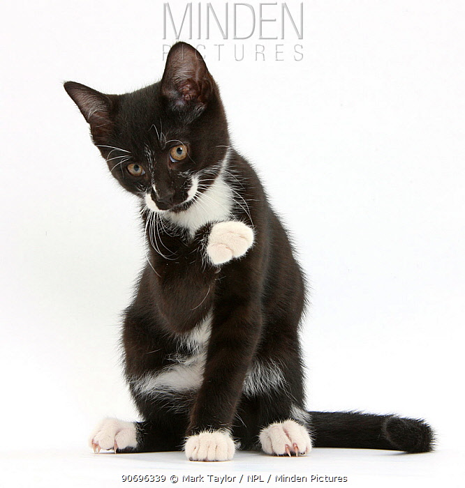Black-and-white tuxedo kitten, Tuxie, 10 weeks old, looking up after washing his paw  -  Mark Taylor/ npl