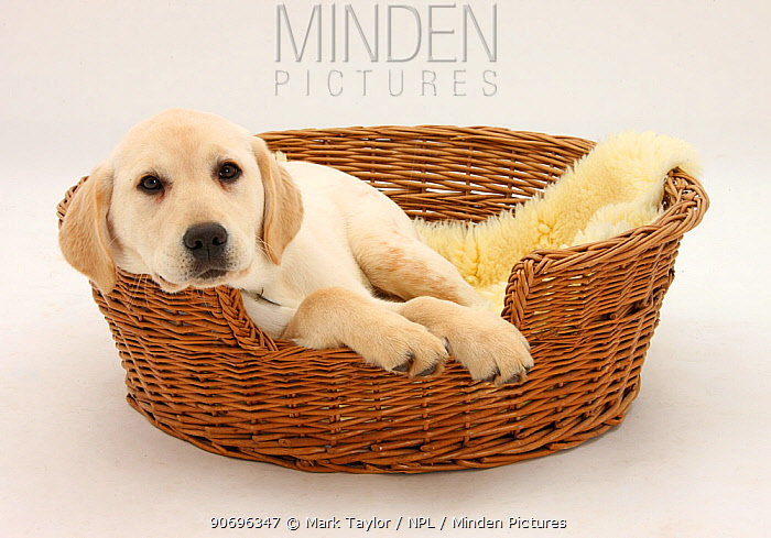 Yellow Labrador pup, 4 months old, lying in a wicker basket dog bed  -  Mark Taylor/ npl