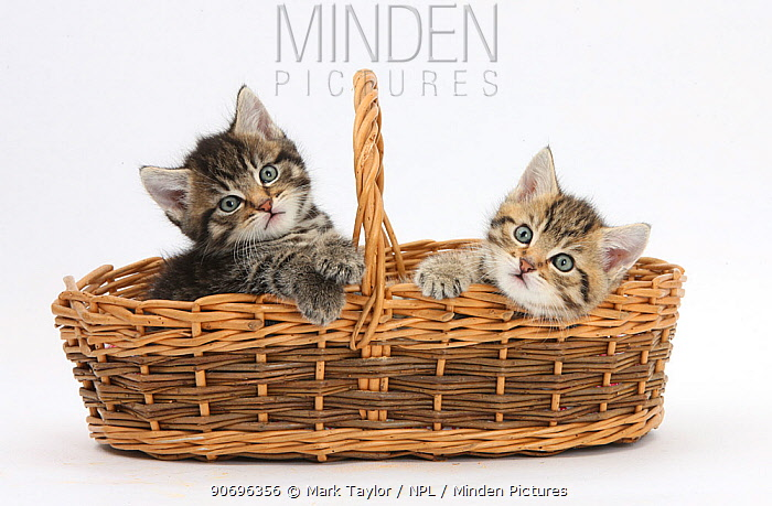 Cute tabby kittens, Stanley and Fosset, 6 weeks old, in a wicker basket  -  Mark Taylor/ npl